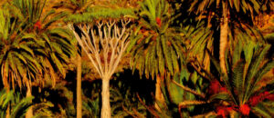 Castro dragon tree